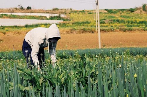 Công việc ở các nông trại khá phù hợp với những bạn du học sinh chưa giao tiếp thành thạo tiếng Hàn